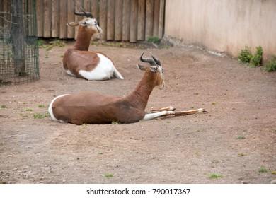 Antelope Lesser kudu