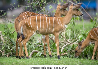 Antelope on Green grass