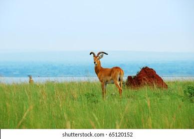 Antelope reedbuck in the Murchison Falls national park Uganda