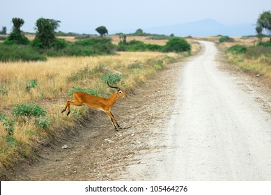 Antelope reedbuck pass the dirt road to the Rwenzori mountain range in the Queen Elizabeth national park, Uganda