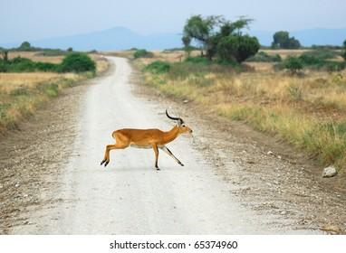 Antelope reedbuck in the Queen Elizabeth national park, Uganda