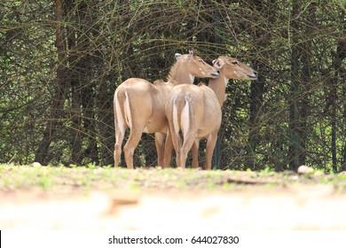 antelope romancing
