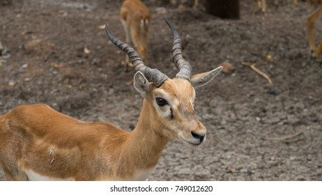 antelope in thailand