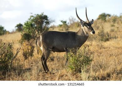 Antelope in Tsavo Park