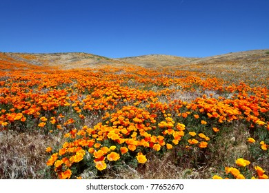 Antelope valley flowers