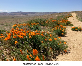 Antelope Valley Poppy Reserve, California