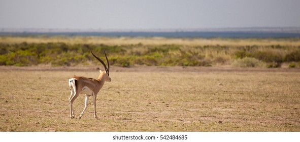 Antelope is walking away, scenery of the Kenyan savannah