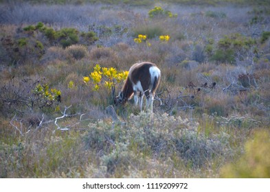 Antelope in Western Cape, South Africa