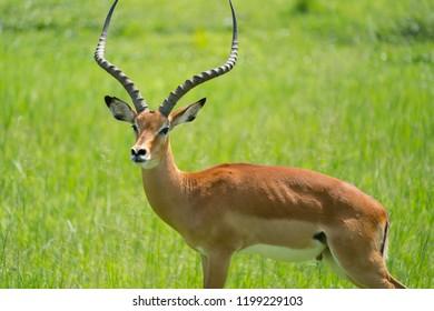 Antelopes, Impala, bush backs