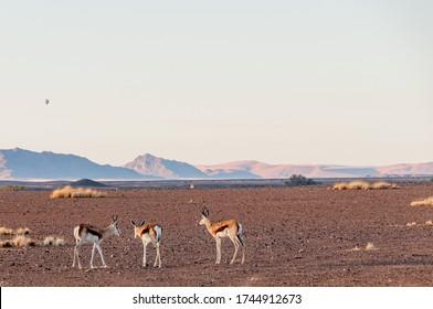 Antelopes in the Namib Desert