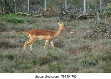 Antelopes in the South Africa