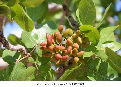 antep pistachios tree  gaziantep turkey