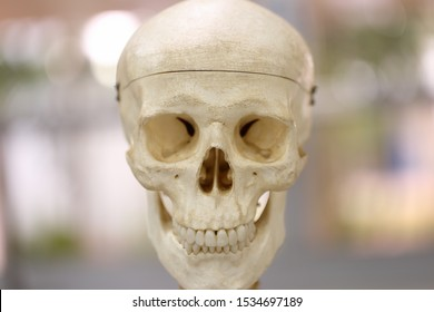 Anterior view of skull model. An anterior view of the skull shows the bones that form the forehead, orbits (eye sockets), nasal cavity, nasal septum and upper and lower jaws.
