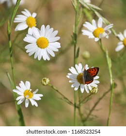 Anthemis Arvensis with butterfly