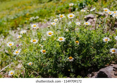 Anthemis arvensis known as corn chamomile, mayweed, scentless chamomile. Plant growing in Alpine meadows. Wild medicinal plants in the mountains.