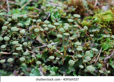 Antheridiophore (male gametophyte) of Marchantia polymorpha, sometimes known as the common liverwort or umbrella liverwort. It is a large liverwort with a wide distribution around the world.