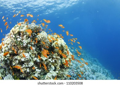 anthias around a beautiful coral block in the Red Sea
