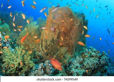 Anthias Fish and Gorgonian Fan Corals