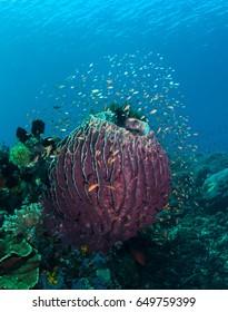 Anthias fish surround barrel sponge with crinoid climbing on it.