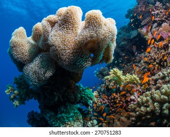 Anthias fishes surrounding hard and soft corals of the Red Sea . Taken at Fury Shoal reefs, Southern Egypt.
