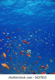 Anthias and other fish. shot in the Red Sea