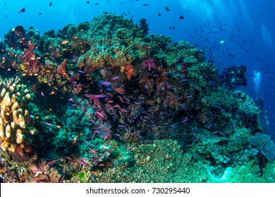 Anthias and other fish swimming over the reef