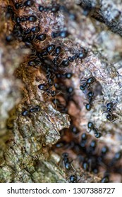 anthill of black ants on the tree