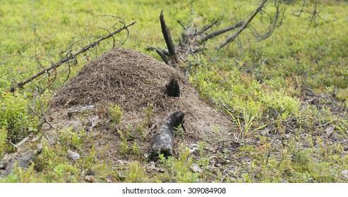 anthill in summer pine forest, 4k photo