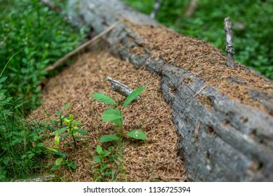 Anthill in tree