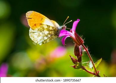 Anthocharis cardamines Orange tip male butterfly feeding on pink flower Geranium robertianum.