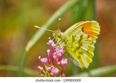 Sưu tập Bộ cánh vẩy 2 - Page 72 Anthocharis-euphenoides-butterfly-natural-enviroment-260nw-1390850309