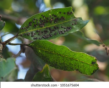 Anthracnose on  mango leaf in the garden.