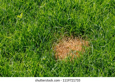 anthracnosis fungal disease of the lawn