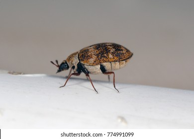 Anthrenus a beetles of the family Dermestidae the skin beetle the home and storage pest