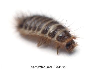 Anthrenus carpet beetle isolated on white