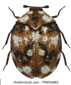 Anthrenus flavipes is a species of beetle in the family Dermestidae known by the common name furniture carpet betele. Isolated on a white background