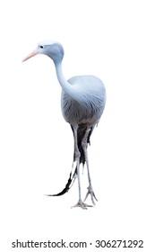Anthropoides paradisea, Or blue crane