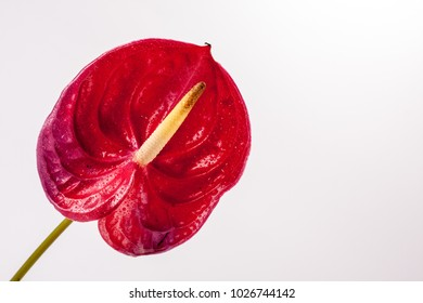 Anthurium leaf isolated on white