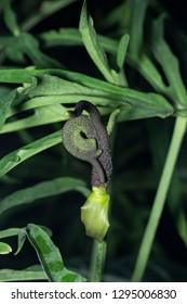 Anthurium podophyllum in bloom showing mutated genetic fasciation parts of plant flower at a botanical garden