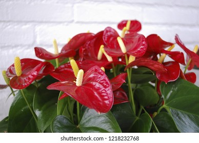 Anthurium Red Champion grow in the flower pot. Spring time in  Netherlands.