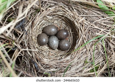Anthus trivialis. The nest of the Tree Pipit in nature. Russia, the Ryazan region (Ryazanskaya oblast), the Pronsky District.