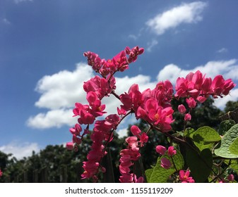 Antigonon leptopus (Mexican Creeper, Bee Bush, Coral Vine, Chain of Love, Confederate Vine, Mountain Rose Coralvine, Rose Pink Vine) small pink flower are blooming on bush in the garden under blue sky
