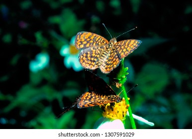 Antillean crescent Butterfly, El Yunque National Forest, Puerto Rico
