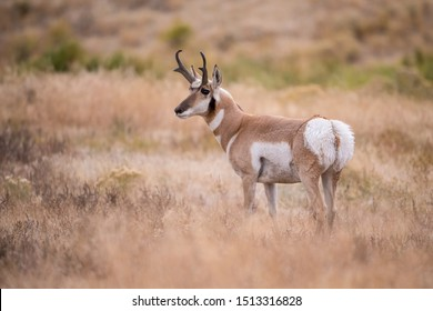 Antilocapra americana, Pronghorn  is standing in dry grass, in typical autumn environment, majestic animal proudly wearing his antlers, ready to fight for an ovulating hind,Yellowstone,USA