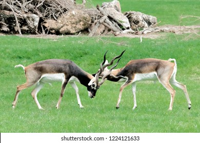 Antilope cervicapra (Blackbuck) in meadow fighting at the zoo ,Thailand.
