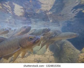 Antimony fish in the water fall. Chanthaburi Thailand