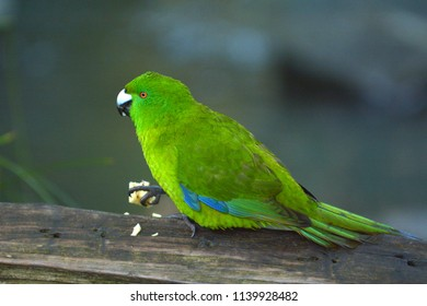 Antipodes parakeet bird eating food.Its endemic to the Antipodes Islands of New Zealand, one of two parrot species found on the islands, and one of only five ground-dwelling parrots in the world.