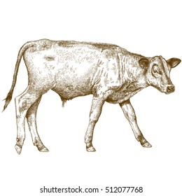 antique engraving illustration of calf isolated on white background