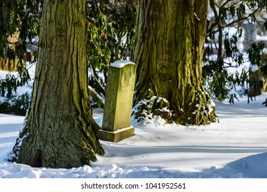 Antique tombstone between two very old and big tree trunks in winter. Name and date removed.