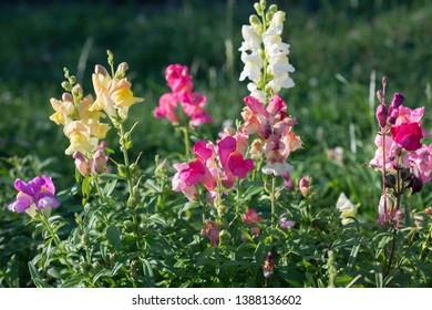 Antirrhinum majus flower grows in the garden